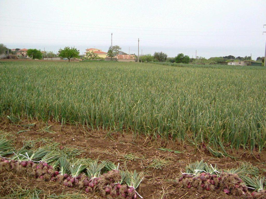cipolla-di-tropea-coltivazione